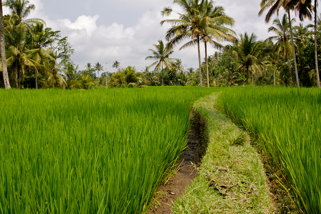 Banana Leaf and Ricefields
